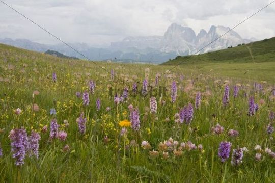 Fragrant Orchid (Gymnadenia conopsea) in front of Plattkofel and Langkofel Mountains, Seiser Alm, Dolomites, Alto Adige, Italy, Europe