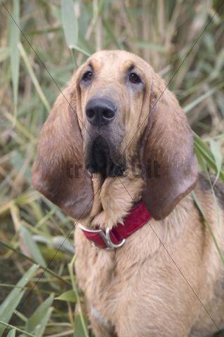 Young bloodhound, St. Hubert hound or Sleuth Hound, female, portrait