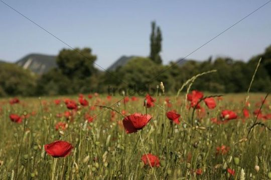 Wheat field with poppies near Le Pegu, Provence, France, Europe
