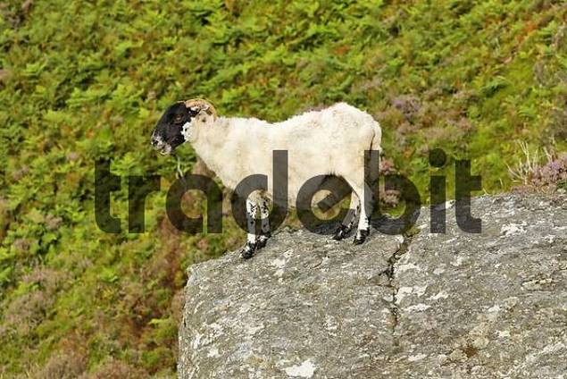 sheep at the Slieve League cliffs, Donegal, Ireland