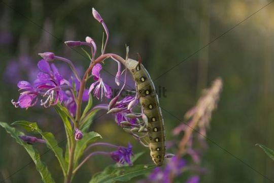 Bedstraw Hawk-Moth (Hyles gallii) caterpillar on Fireweed (Epilobium angustifolium)