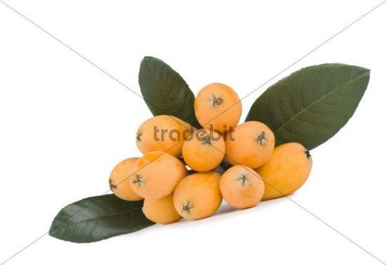 Fresh loquat (Eriobotrya) fruits and green leaves