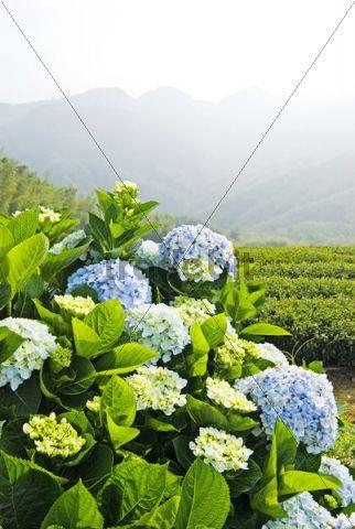 Hydrangea (Hydrangea macrophylla) in front of mountains