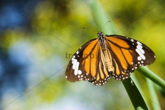 Orange tiger (Salatura genutia)