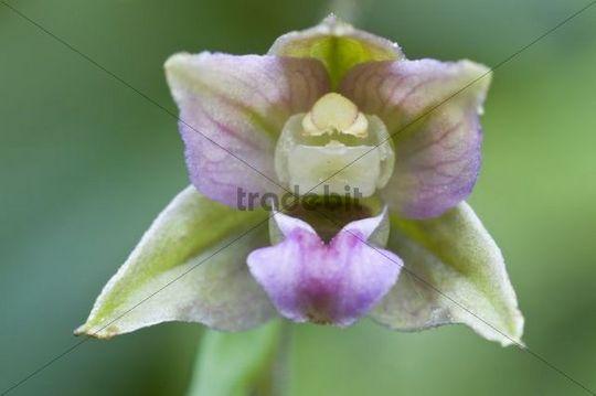 Broad-leaved Helleborine (Epipactis helleborine)