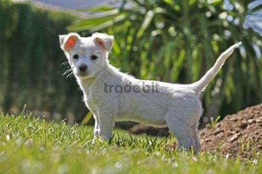 Labrador crossbreed pup