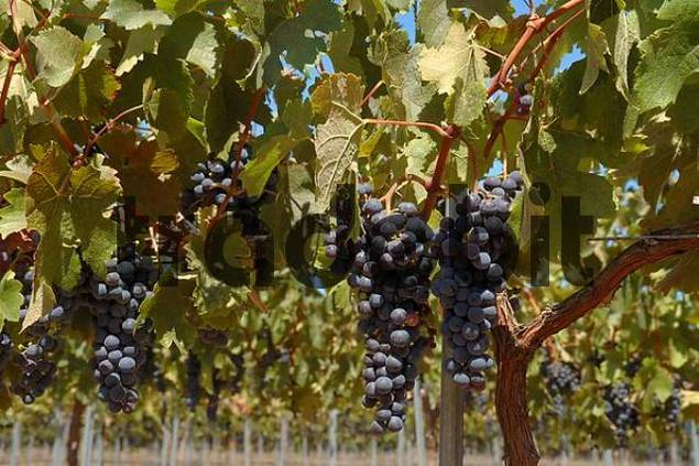 delicious grapes in Chile