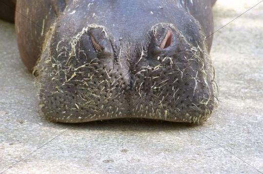 Hairy snout of a hippopotamus (Hippopotamus amphibius) in the zoo of Valencia, Spain, Europa