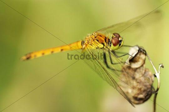 Spotted Darter (Sympetrum depressiusculum)
