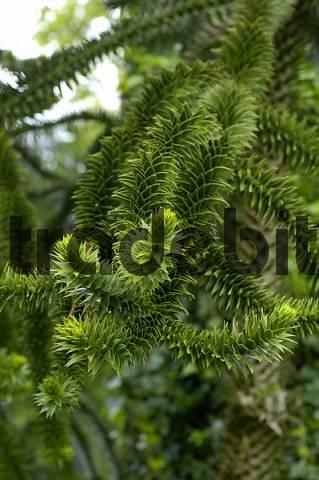 Twigs of an Araucaria Araucaria araucana
