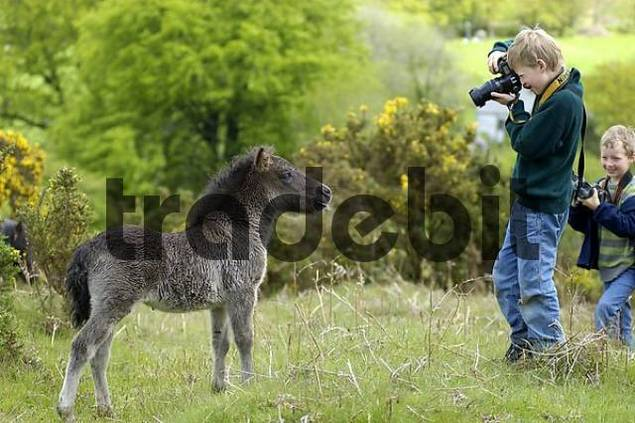 Boy taking pictures of a Shetland Pony south west England