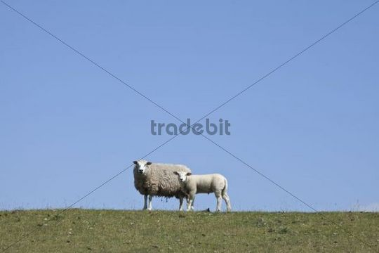 Sheep on the Nordstrand dyke of Husum, North Friesland, Schleswig-Holstein, Germany, Europe
