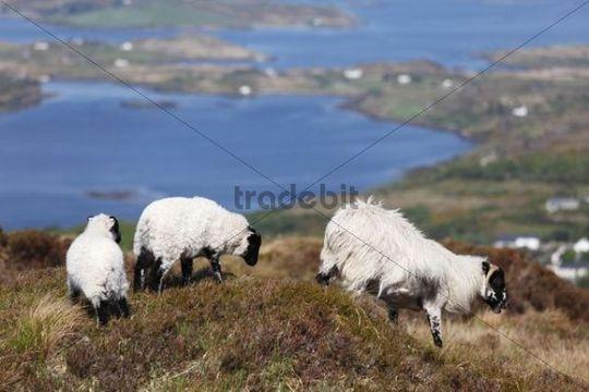 Sheep, Connemara National Park, County Galway, Republic of Ireland, Europe