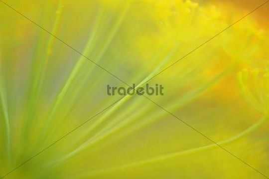 Parsnip (Pastinaca sativa), flower with a wipe effect