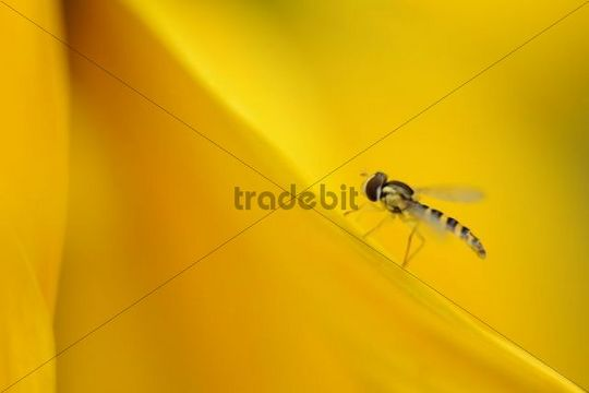 Hoverfly (Syrphidae) on a sunflower petal