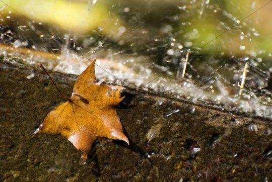 Fallen maple leaf on a rainy day