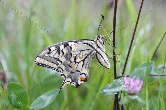 Swallowtail (Papilio machaon), underside, sitting in a meadow