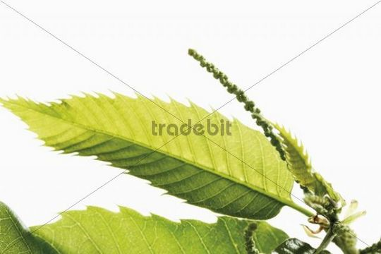 Chestnut (Castanea sativa), leaves and seeds