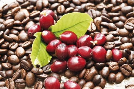 Red coffee berries coffea arabica on a bed of coffee for Coffea arabica