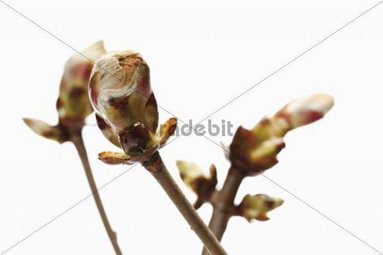 Horse chestnut (Aesculus hippocastanum) buds