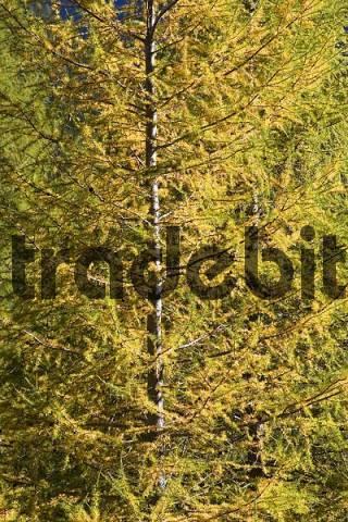 European Larch Larix decidua in autumn, national park Hohe Tauern, Austria