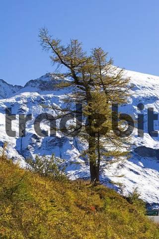 European Larch Larix decidua in front of snowy mountain, national park Hohe Tauern, Austria