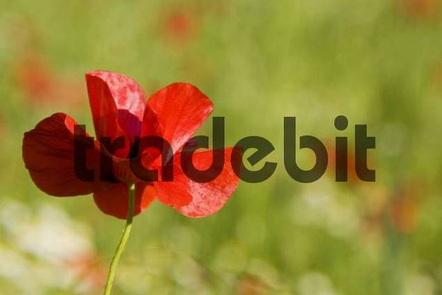 Corn poppy Papaver rhoeas