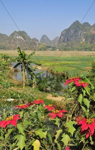 Poinsettia (Euphorbia pulcherrima), Mai Chau Valley, Vietnam, Asia