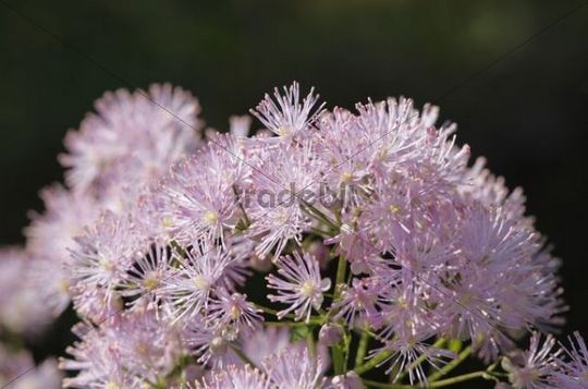Meadow rue (Thalictrum aquilegiifolium), Bavaria, Germany, Europe