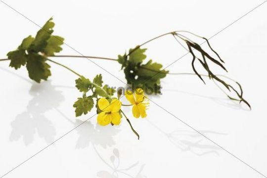 Greater Celandine or Tetterwort (Chelidonium majus), medicinal plant