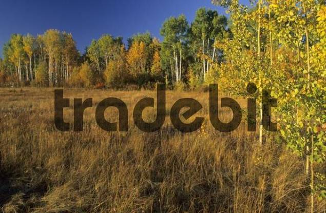 fall coloured aspen trees at the Great Slave Lake, Northwest Territories, Canada