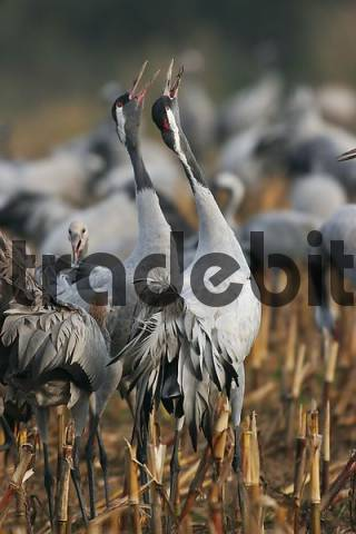 trumpeting cranes grus grus, national park Vorpommersche Boddenlandschaft, Mecklenburg Vorpommern, Germany