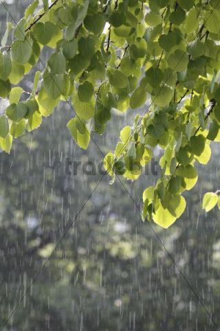 Katsura tree (Cercidiphyllum) during a summer rain