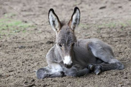 Thuringian Forest Donkey (Equus asinus), foal, Daun Wildlife Park, Vulkaneifel district, Rhineland-Palatinate, Germany, Europe
