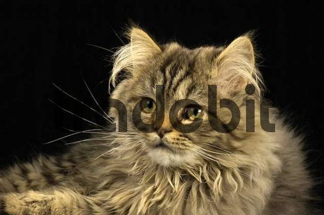 Persian Cat crossbreed