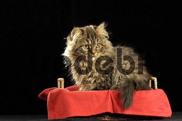 Persian Cat crossbreed