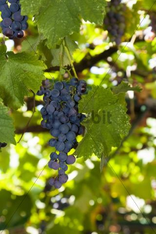 Grapes in a tavern, Corfu, Ionian Islands, Greece, Southern Europe, Europe
