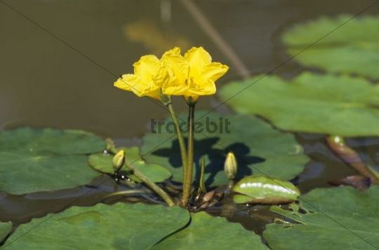 Fringed Water-lily or Yellow Floating-heart, (Nymphoides peltata)