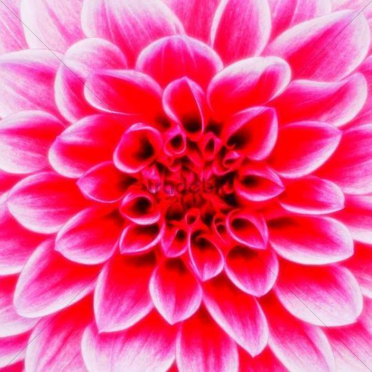 """Dahlia """"Maxim"""" (Dahlia), flower, close-up"""
