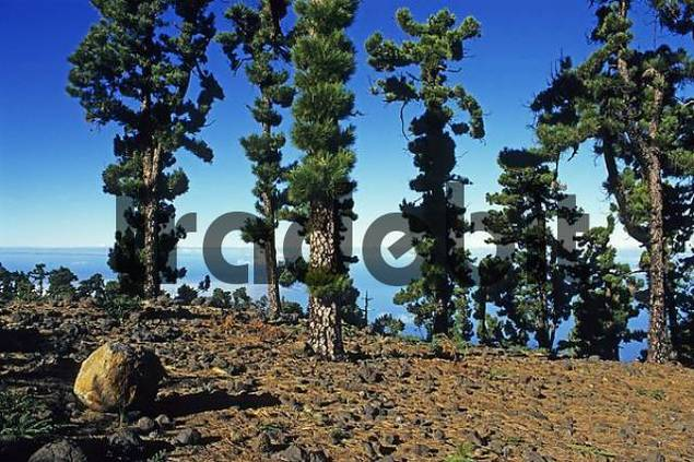 Canary Island Pine Pinus canariensis, La Palma Island, Canary Islands, Spain, Europe