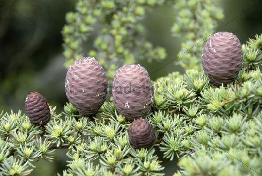 Branch of a Lebanon Cedar (Cedrus libani var brevifolia) with purple cones, Tripylos, Troodos Mountains, Southern Cyprus, Republic of Cyprus, Mediterranean Sea, Europe