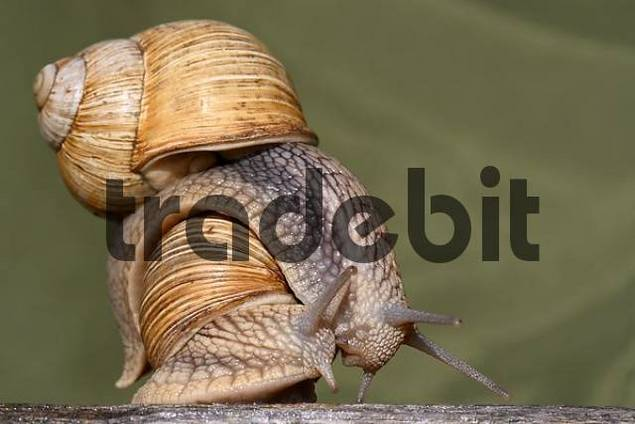 Two snails copulate