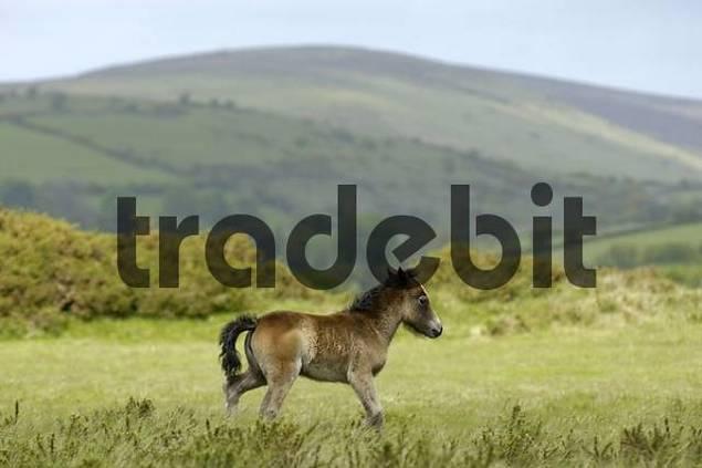 Dartmoor Pony foal Dartmoor National Park Devon England