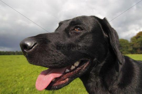Black Labrador Retriever dog (Canis lupus familiaris) portrait, male, domestic dog