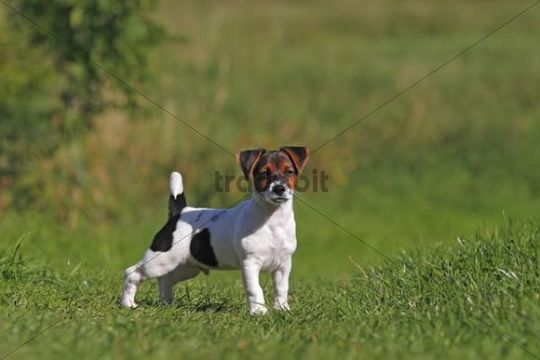 Young Jack Russell Terrier dog (Canis lupus familiaris), male puppy, 12 weeks, domestic dog