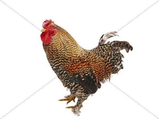 Chicken (Gallus gallus domesticus), Bantam Crele Bantam cockerel