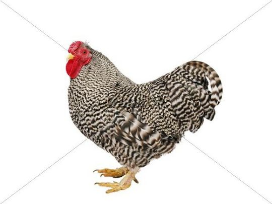 the effects of tetracycline on gallus domesticus How to guide on keeping broiler chicken in uganda   (gallus gallus domesticus)  • tetracycline 25% is used to treat gomborro ibd,.