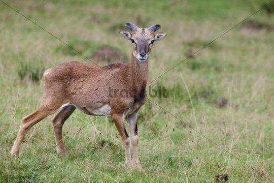Mouflon (Ovis orientalis), Daun Wildlife Park, Rhineland-Palatinate, Germany, Europe