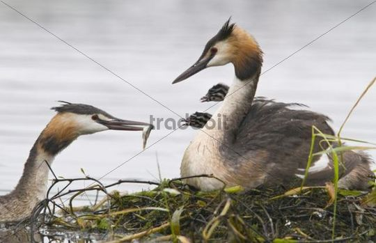 Great Crested Grebe (Podiceps cristatus) feeding chicks
