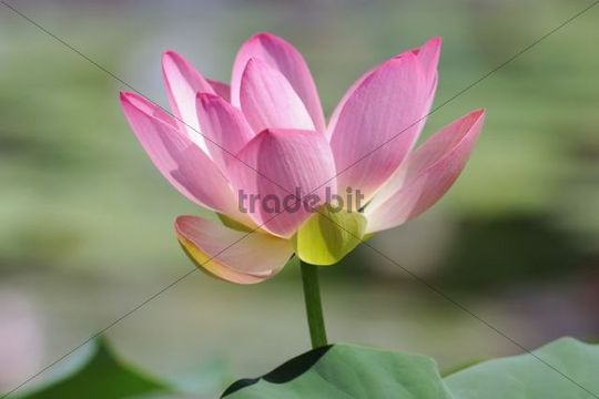 Indian Lotus, Sacred Lotus, Bean of India (Nelumbo nucifera)